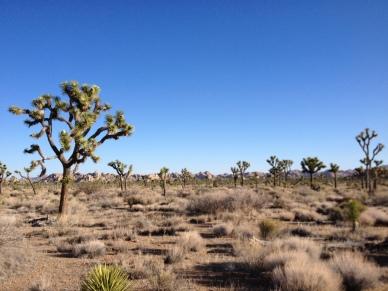 Yucca brevifolia Joshua Tree National Park, CA